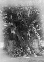 Yew tree in churchyard, Crowhurst (SHC ref 7828/2/47/51)