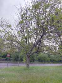 An Ash tree suffering from Ash Dieback