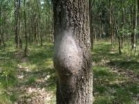 A tree affected by the moth